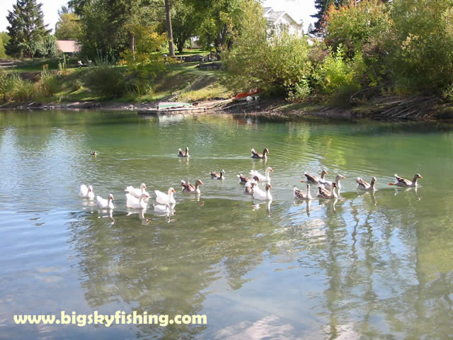 Whitefish pictures ducks on the whitefish river for Whitefish montana fishing