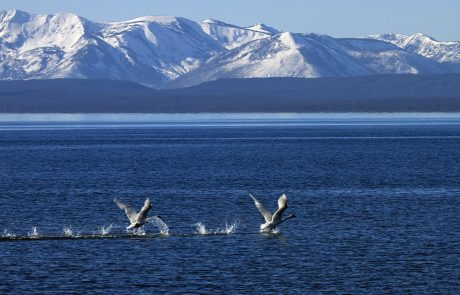 Birds Take Flight on Yellowstone Lake